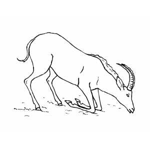 Drinking Antelope Coloring Sheet