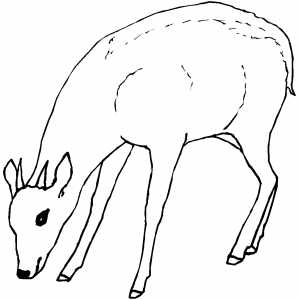 Eating Pygmy Antelope Coloring Sheet