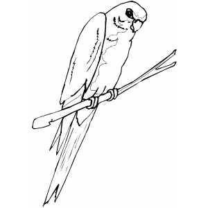 Parakeet Coloring Sheet