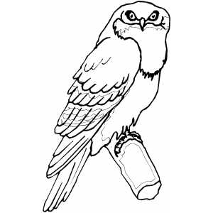 Tawny Frogmouth Coloring Sheet